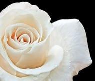 在黑背景的白色玫瑰 图库摄影