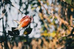 玫瑰的一朵被隔绝的红色花 免版税图库摄影