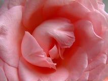 玫瑰的中心 免版税库存图片