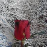 从玫瑰的亲吻 库存照片