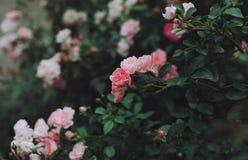 玫瑰的布什在庭院里 库存图片