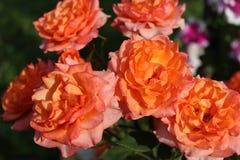 玫瑰的开花的布什 免版税图库摄影