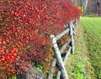 玫瑰的果子在秋天 免版税库存图片