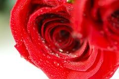玫瑰的特写镜头 库存图片