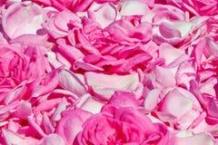 从玫瑰的瓣的背景 免版税库存照片