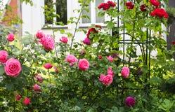 玫瑰的耕种 库存照片