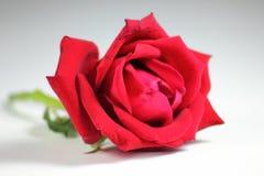 玫瑰红在空白背景 免版税库存照片