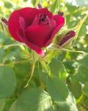 玫瑰红的芽夏天庭院 库存图片