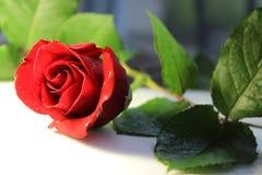 玫瑰红的绿色生叶自然花台式摄影白色地板爱言情开花淡水下落 库存图片