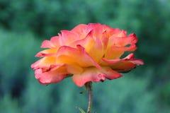 玫瑰红色黄色 免版税库存照片