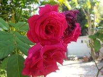 玫瑰红 免版税库存照片