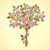 玫瑰结构树 免版税图库摄影