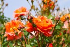 玫瑰罗斯Westerland在夏天 库存照片