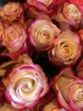 玫瑰脸红桃红色 库存照片