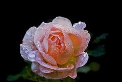 玫瑰色三文鱼 库存照片