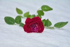 玫瑰色冬天 库存图片