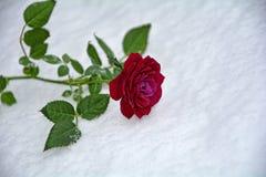 玫瑰色冬天 免版税库存照片