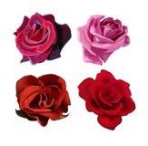 玫瑰色向量 免版税库存图片