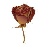 玫瑰色向量 库存图片