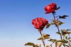 玫瑰色天空 免版税图库摄影