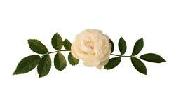 玫瑰色小树枝茶 免版税库存图片