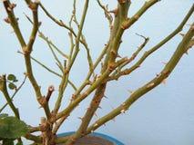 玫瑰色树干的刺 免版税库存照片