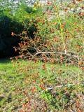 玫瑰色狗& x28的布什; 野蔷薇, rosa& x29;用成熟莓果 免版税图库摄影