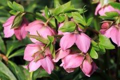 玫瑰色的圣诞节或嚏根草属是一棵四季不断的植物 免版税库存图片