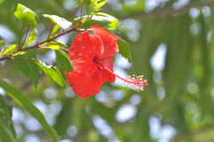 玫瑰色的汉语或木槿 库存照片