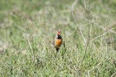 玫瑰色红喉刺莺的Longclaw Macronyx ameliae在一个湿草甸我 库存图片