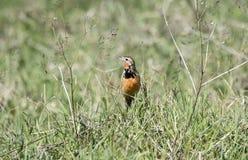玫瑰色红喉刺莺的Longclaw Macronyx ameliae在一个湿草甸 库存照片