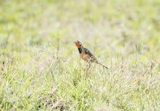 玫瑰色红喉刺莺的Longclaw Macronyx ameliae在一个湿草甸 免版税库存图片