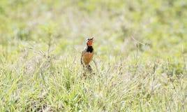 玫瑰色红喉刺莺的Longclaw Macronyx ameliae在一个湿草甸 免版税库存照片