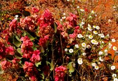 玫瑰色船坞和纸雏菊在澳大利亚沙漠开花 免版税库存照片
