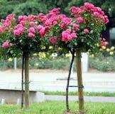 玫瑰色茎 免版税库存图片