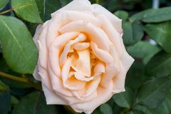 玫瑰色茶 图库摄影