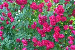 玫瑰色茶 库存照片