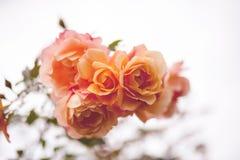 玫瑰色茶 免版税库存照片