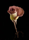玫瑰色词根 库存照片