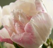 玫瑰色郁金香花  免版税库存照片