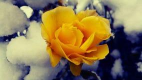 玫瑰色雪 库存照片