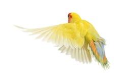 玫瑰色面对的爱情鸟飞行 库存图片