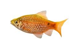玫瑰色巴勃男性Pethia conchonius淡水热带水族馆鱼 库存图片