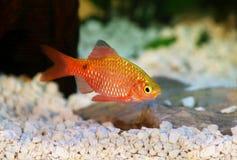 玫瑰色巴勃Pethia conchonius淡水热带水族馆鱼 免版税库存照片