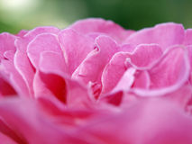 玫瑰色 库存照片