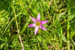 玫瑰色Sandcrocus (Romulea rosea),地方性在南非和归化在欧洲、澳大利亚、新西兰和加利福尼亚的 库存照片
