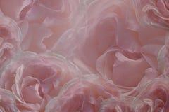 玫瑰花卉桃红色白的美好的背景  花玫瑰贺卡  背景构成旋花植物空白花的郁金香 特写镜头 库存图片