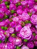 玫瑰花卉背景  免版税库存照片