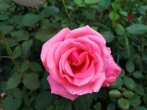 玫瑰花早晨是开花的 图库摄影