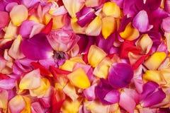 玫瑰花瓣。 抽象花卉背景。 免版税库存图片